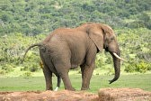 26867091-elephant-pooping-and-peeing-addo-elephant-national-park-south-africa