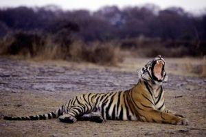 india-10-29-11-tigers1