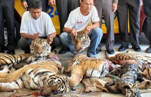 tiger-poaching_1216626i